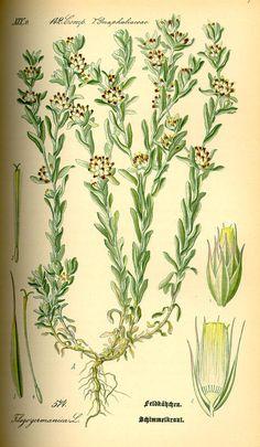 Helichrysum arenarium from Thomé Flora von Deutschland, Österreich.