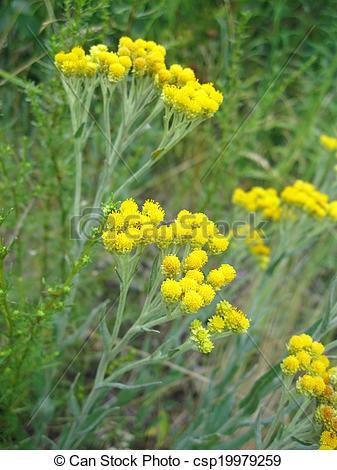 Stock Images of Flowers of helichrysum arenarium closeup.