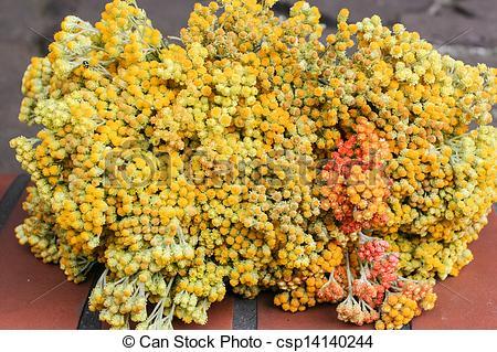 Stock Photo of Helichrysum arenarium is also known as dwarf.