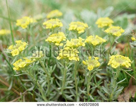 """helichrysum Arenarium"""" Foto, immagini royalty."""