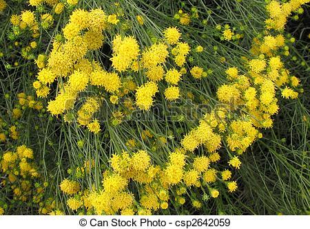 Stock Photographs of Helichrysum arenarium.