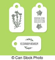 Helichrysum arenarium Clip Art Vector Graphics. 4 Helichrysum.