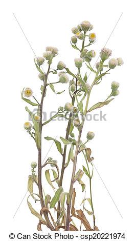 Picture of Helichrysum arenarium.