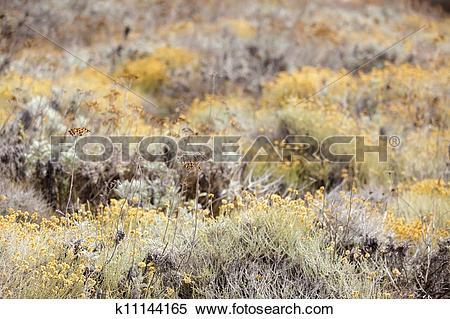 Stock Image of Helichrysum arenarium field k11144165.