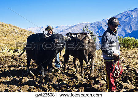 Stock Photography of Farmers ploughing field with oxen.
