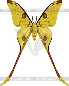 Moth butterfly (Argema mittrei).