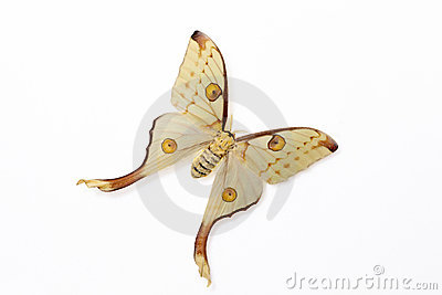 Silk Moth (Argema Mittrei) Royalty Free Stock Photo.