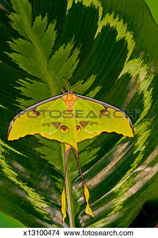Stock Photo of Male African moon moth (Argema mimosae) on Calathea.