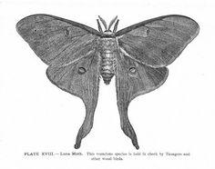 Luna moth tattoo, Tattoos on thighs and Moth tattoo on Pinterest.
