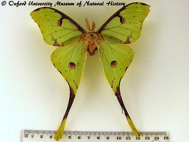 Argema mittrei African Moths.