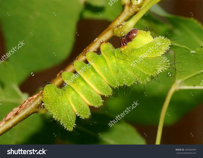 Comet Moth Argema Mittrei Caterpillars Madagascan Stock Photo.