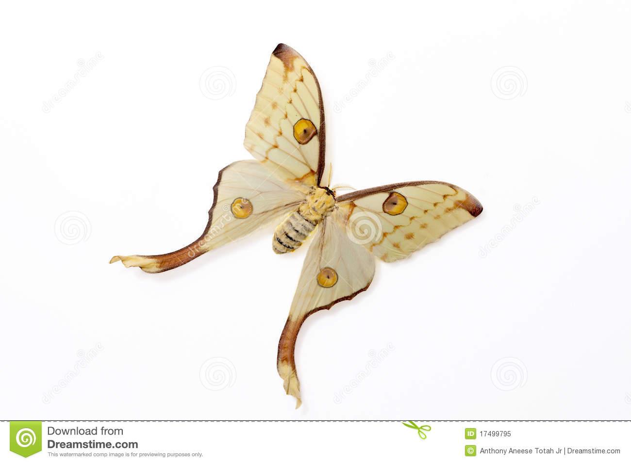 Silk Moth (Argema Mittrei) Royalty Free Stock Photo.