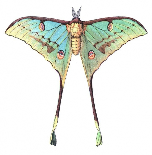 Comet Moth (Argema mittrei) Illustration.