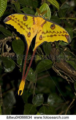 "Stock Photo of ""Comet Moth (Argema mittrei), rainforest of."