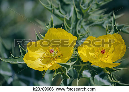 Stock Images of Argemone mexicana, Mexican poppy, Mexican prickly.