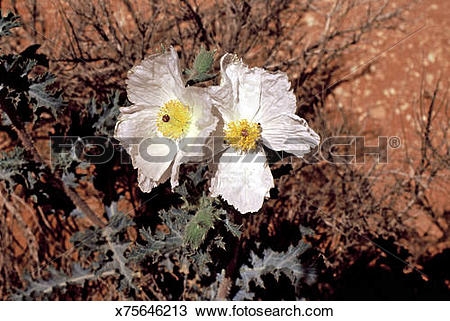 Stock Photo of San Rafael prickly poppy, argemone corymbosa.