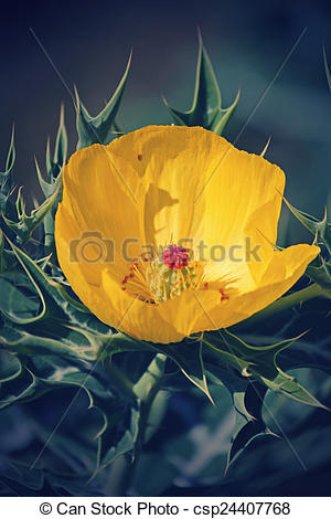 Stock Image of Argemone mexicana, Mexican poppy, Mexican prickly.