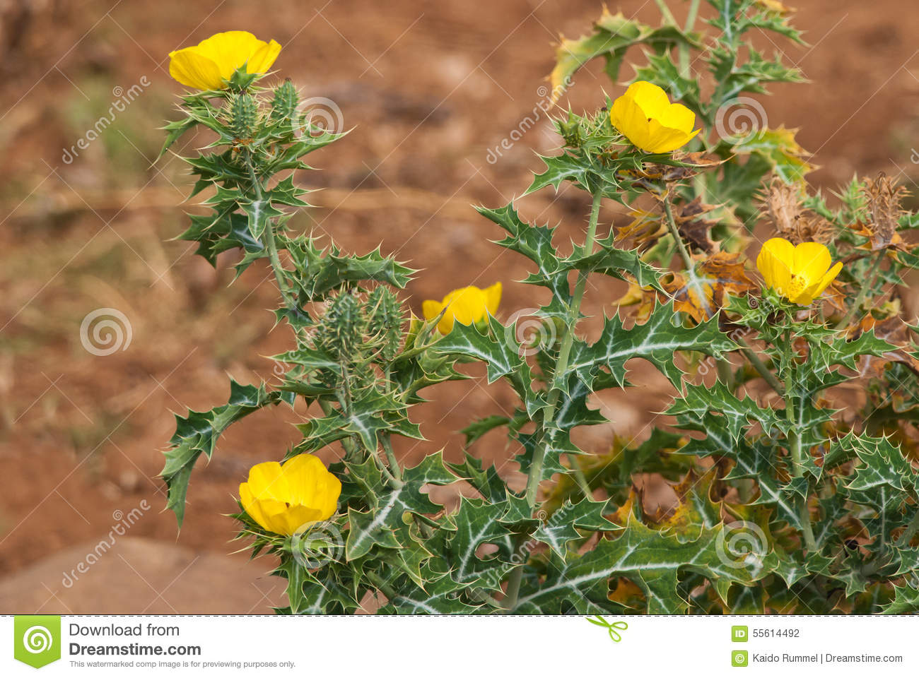Argemone Mexicana Stock Photo.