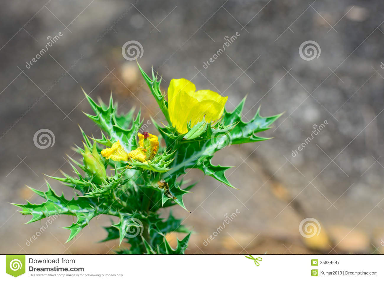 Argemone Mexicana Or Mexican Poppy Royalty Free Stock Photography.