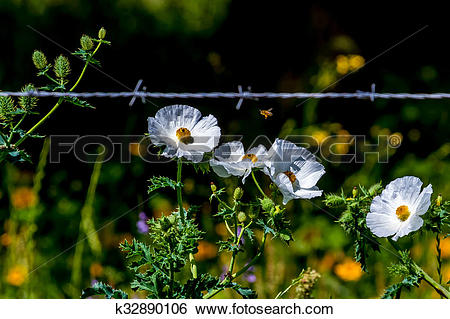 Stock Images of Beautiful White Prickly Poppy (Argemone albiflora.