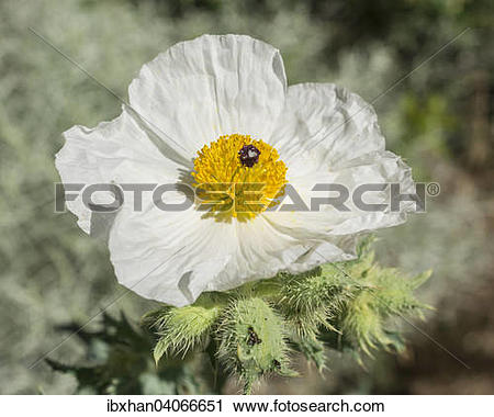 "Stock Photography of ""Prickly Poppy (Argemone sp.), Great Basin."