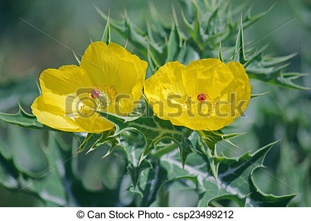 Stock Photography of Argemone mexicana, Mexican poppy, Mexican.