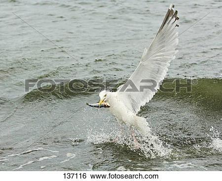 Stock Images of herring gull catching fish / Larus argentatus.