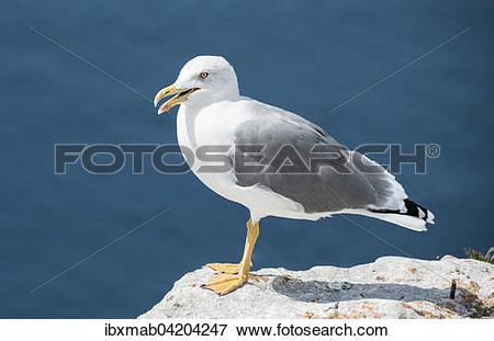 Picture of European herring gull (Larus argentatus) on a chalk.