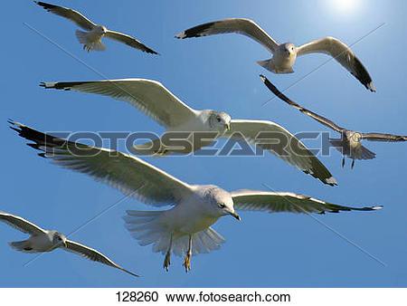Stock Photography of Herring gulls.