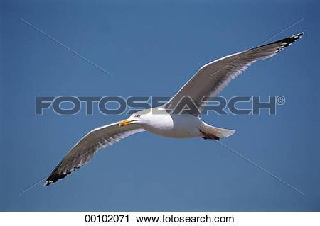 Stock Photography of Juniors, Larus, animal, animals, argentatus.