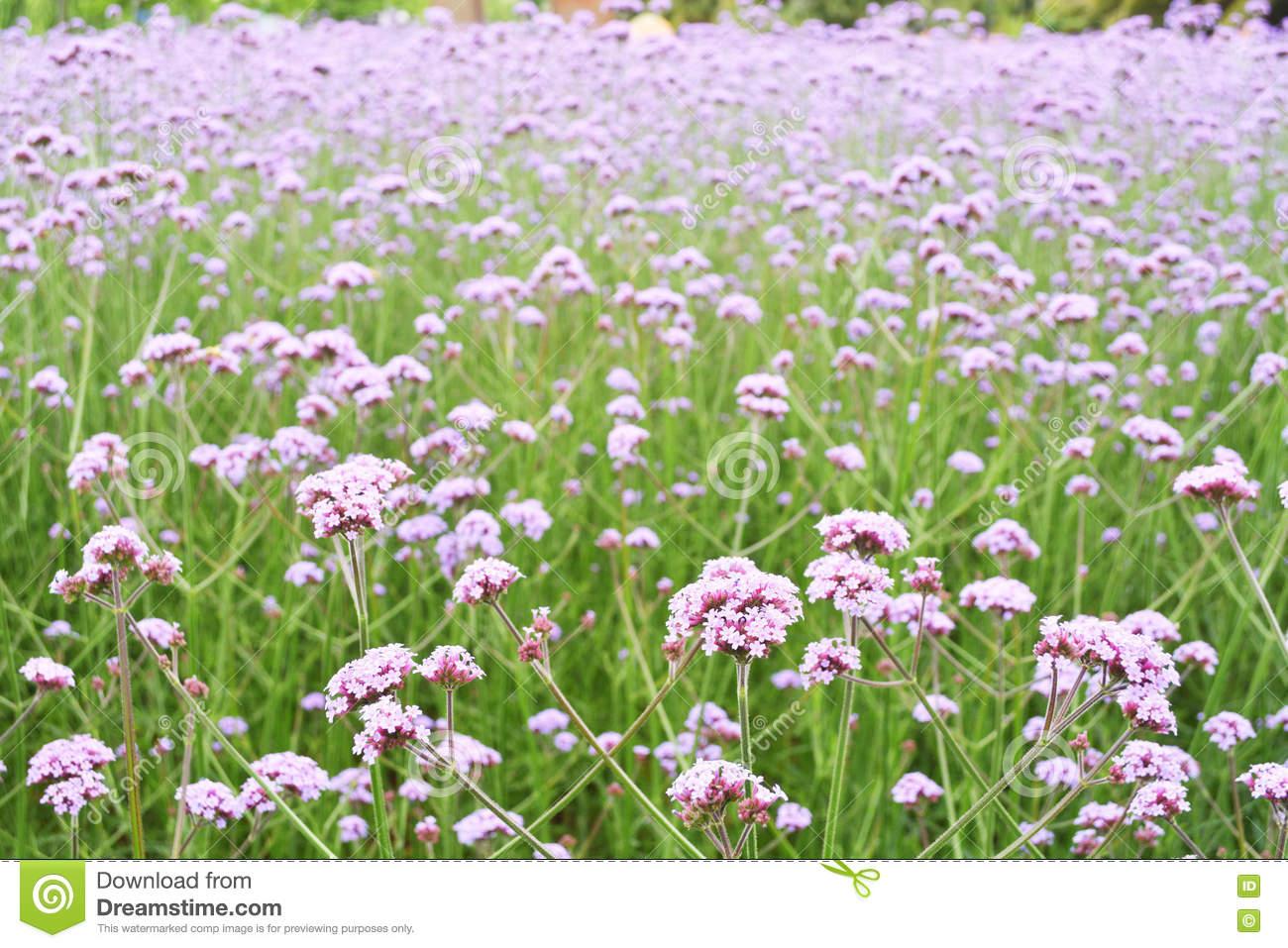 Flower Field Stock Photo.