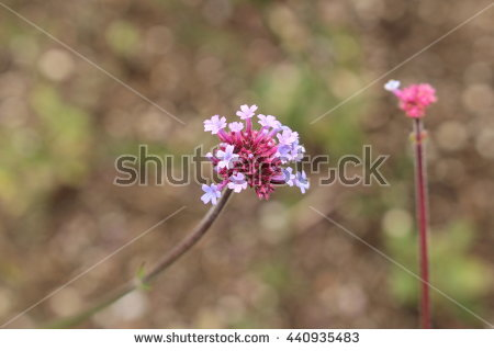 Vervain Stock Photos, Royalty.