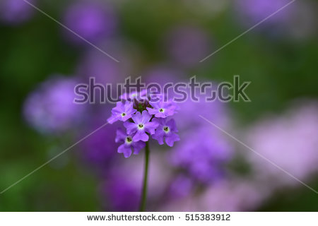 Purple Verbena Stock Photos, Royalty.