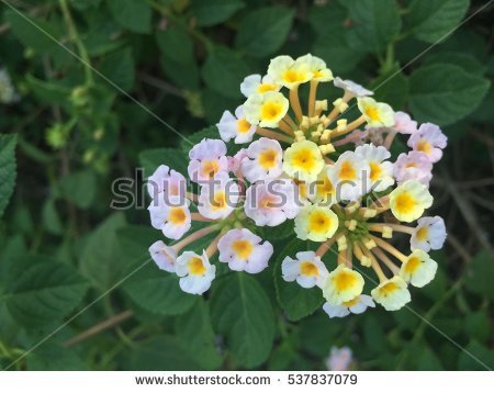 Shrub Verbena Stock Photos, Royalty.