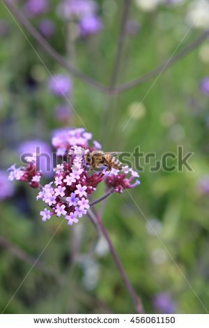 Verbena Purple Garden Stock Photos, Royalty.