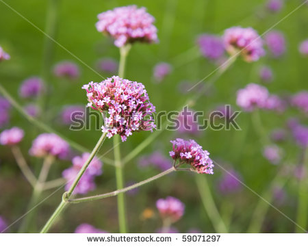 Verbena Flower Stock Photos, Royalty.