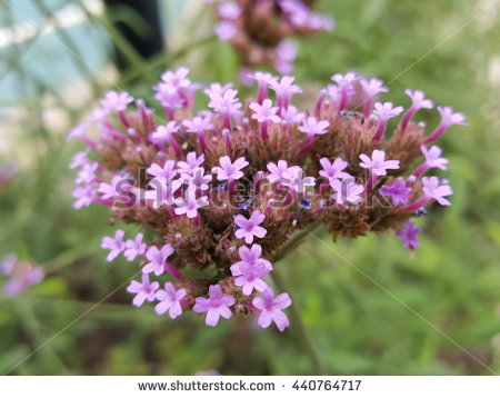 Verbena Stock Photos, Royalty.