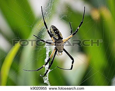 Stock Image of Argiope Aurantia AKA Garden Spider k9020955.
