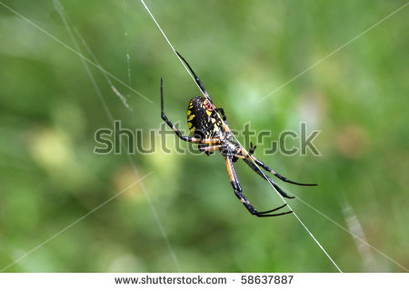 Argiope Aurantia Stock Photos, Royalty.