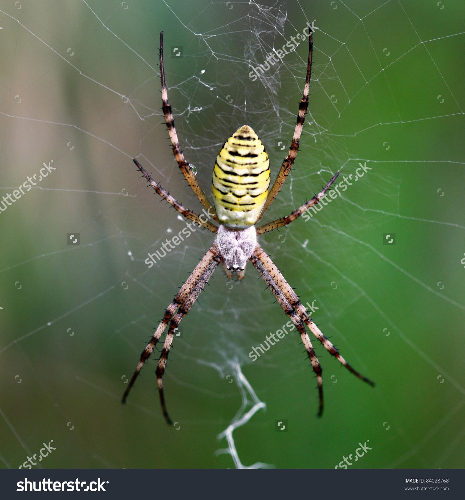 European White Yellow Spider Green Background Stock Photo 84028768.