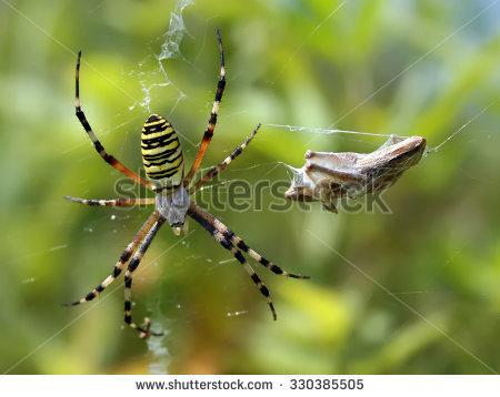 Argiope Bruennichi, Or The Wasp.