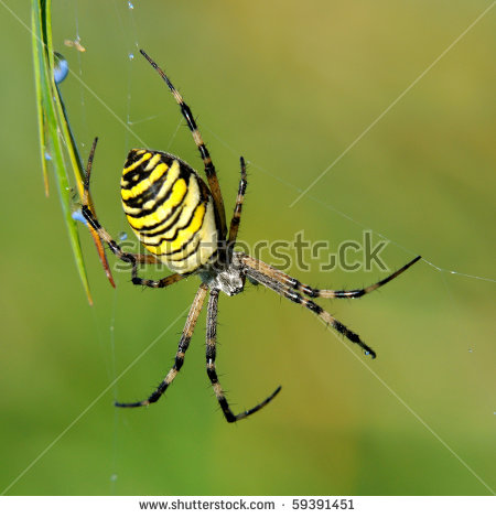 Argiope Bruennichi Stock Photos, Royalty.