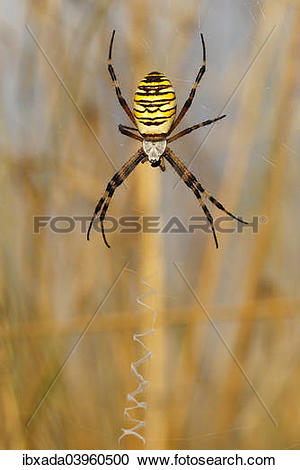 """Stock Photography of """"Wasp Spider or Orb."""