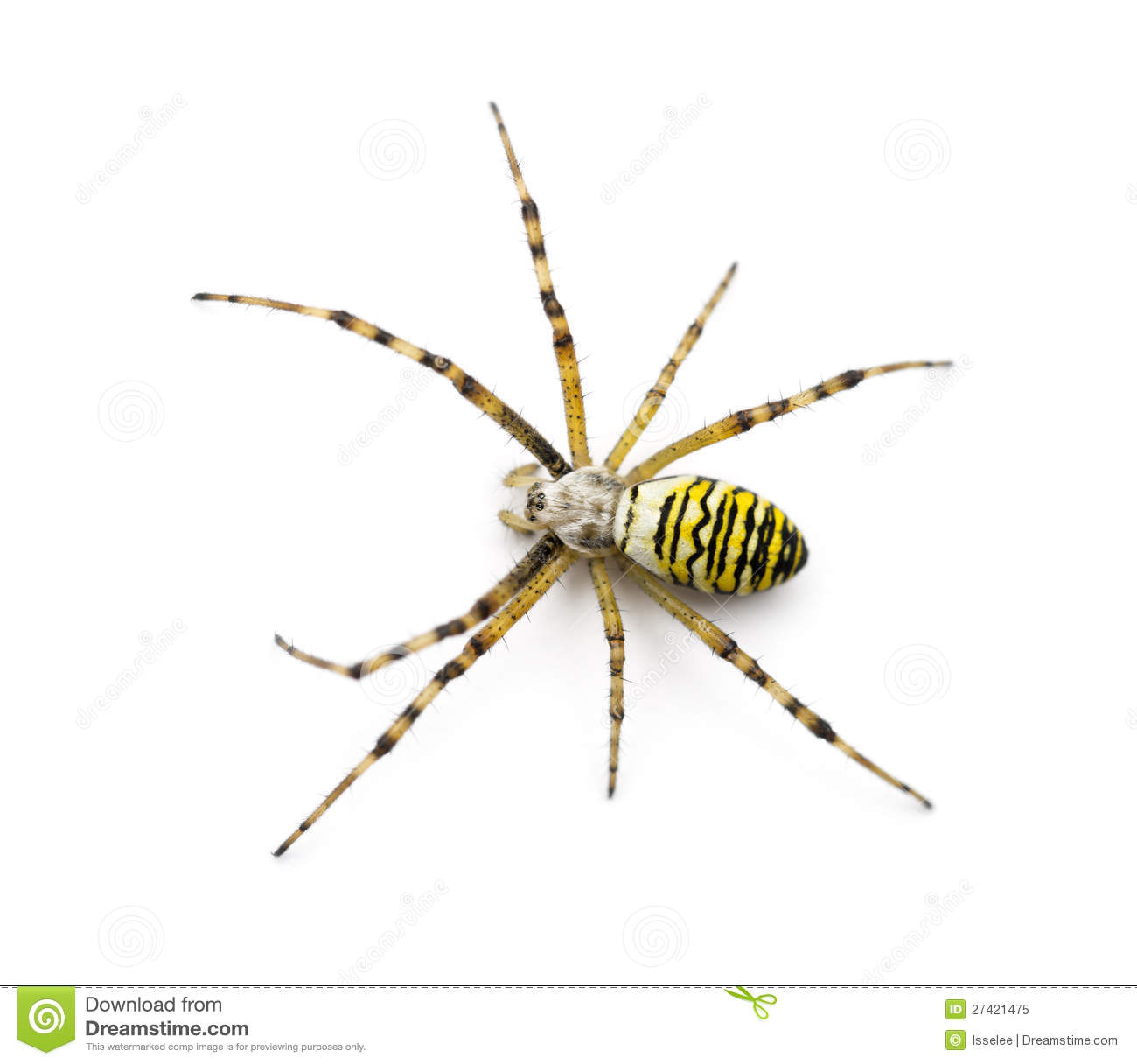 Wasp Spider, Argiope Bruennichi Royalty Free Stock Photo.