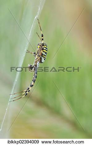 """Stock Photograph of """"Wasp Spider (Argiope bruennichi), near."""
