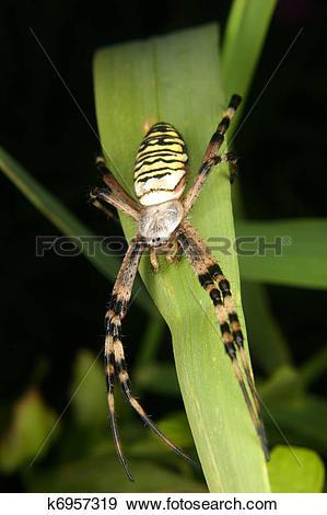 Stock Photograph of Wasp spider (Argiope bruennichi) k6957319.