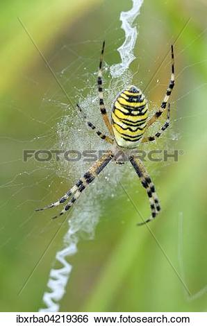 Stock Images of Wasp spider (Argiope bruennichi), female sitting.