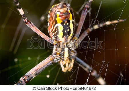 Stock Photo of Spider, Argiope bruennichi.
