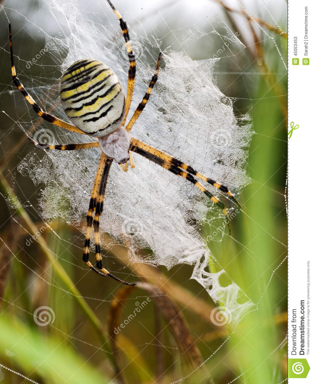 European Wasp Spider, Argiope Bruennichi In Web, Habitat. Stock.