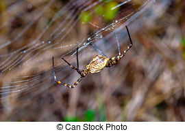 Stock Photo of Spider, Argiope bruennichi.